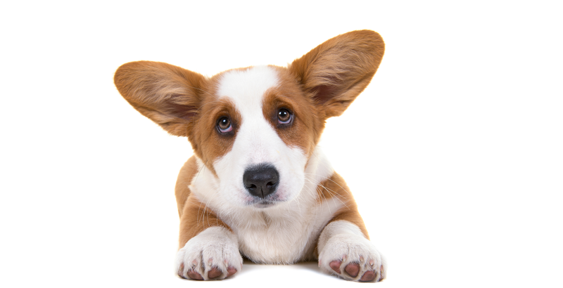 Vendo perro Mirada-perros