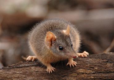 Antechinus marsupial sexo antequinos