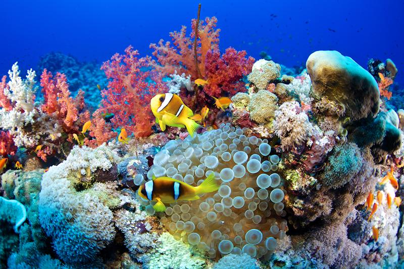 Pez Payaso peces payaso Mar Rojo