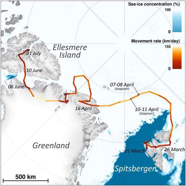 zorra del Ártico
