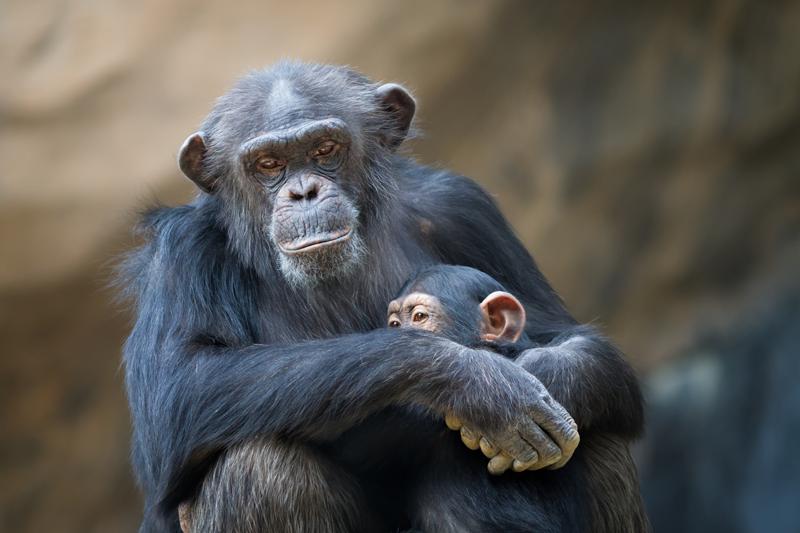 chimpancé eclipse