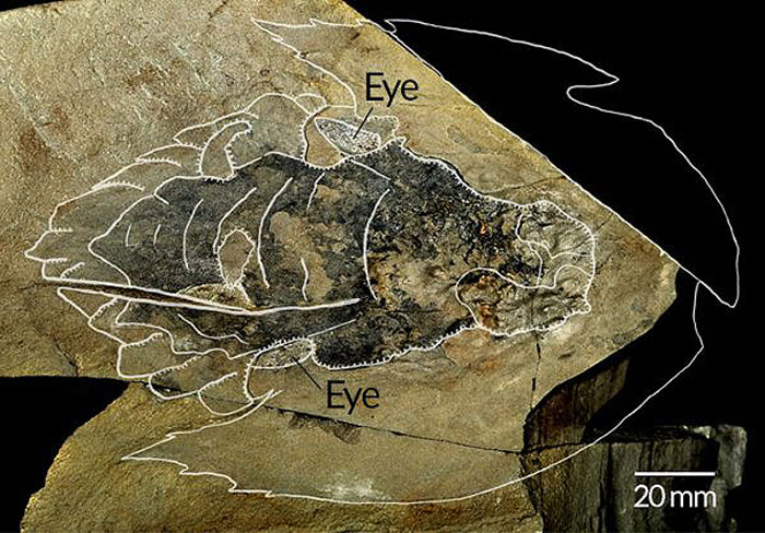 fósil Halcón Milenario