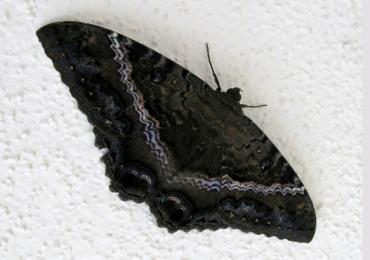 mariposa maldita