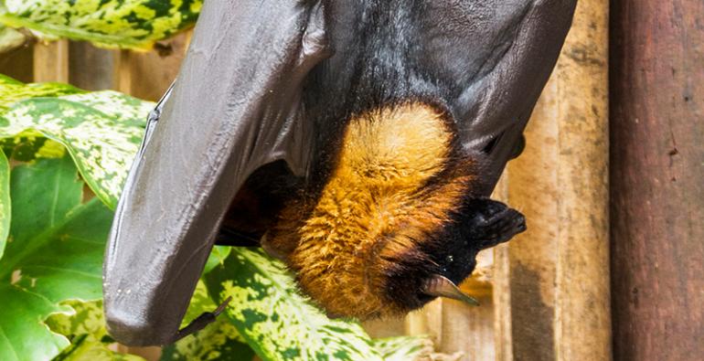murciélago zorro volador