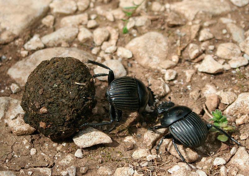 Excremento animales escarabaj