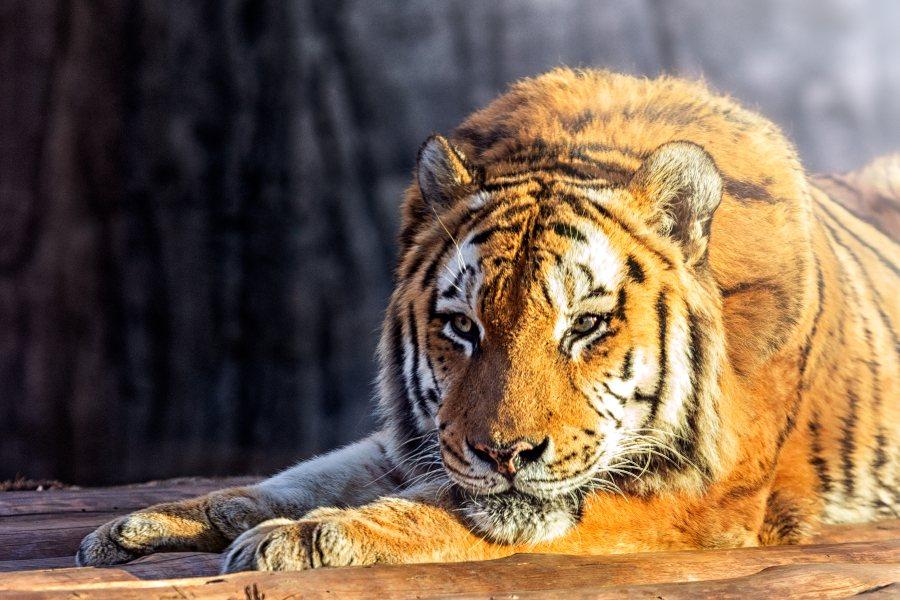 subespecies de tigre