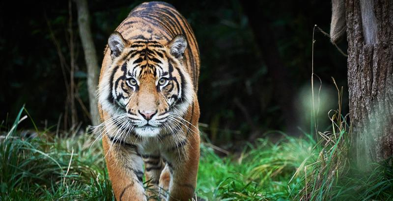 Resultado de imagen de tigres