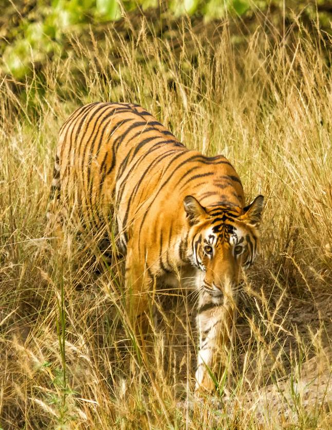 Tigre Bután