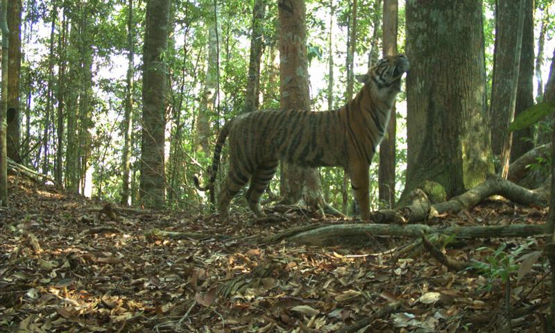 Tigres en el mundo WWF Indonesia