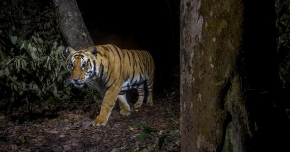 Tigres mundo