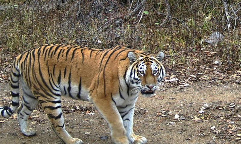 Tigres en el mundo WWF Rusia