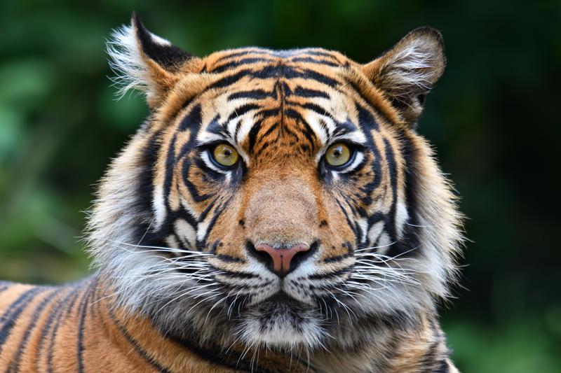 India Tigres