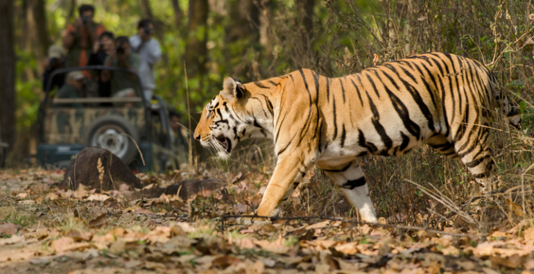 tigresa India