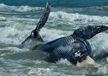 ballena varada Perú