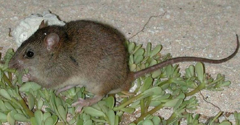 Melomys rubicola roedor mamífero