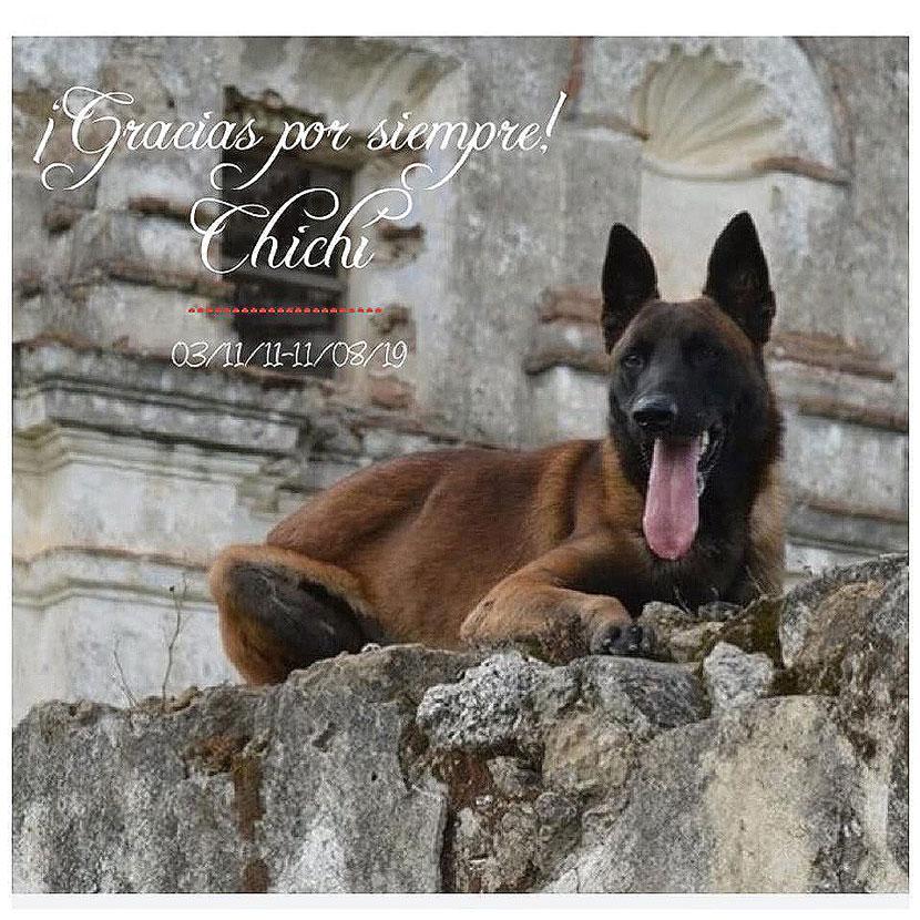 pastor bela Chichí perro rescatista