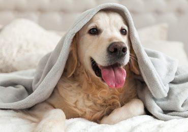 perro crítico canino perros