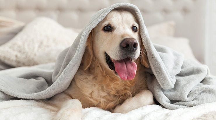 perro crítico canino