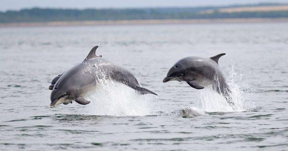 delfín nariz de botella adopta cría