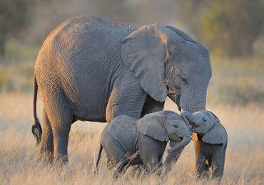 crías de elefante