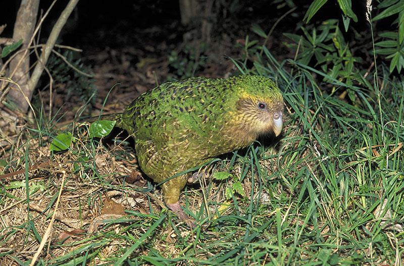 loro kakapo