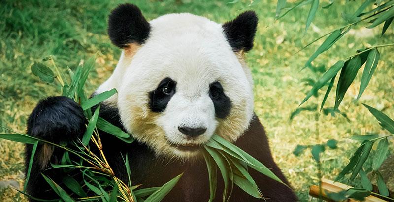 comida oso Panda