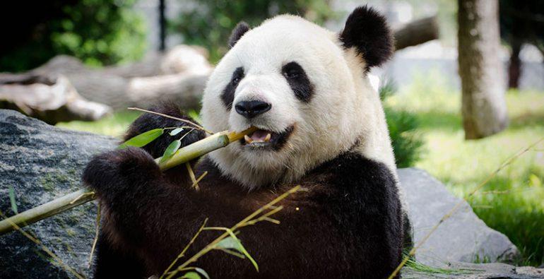 Panda Bambú comida