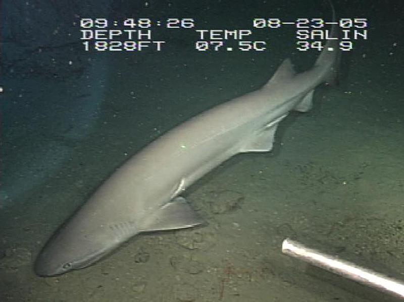tiburón de peinetas
