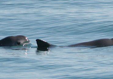 Vaquita Marina vaquitas marinas