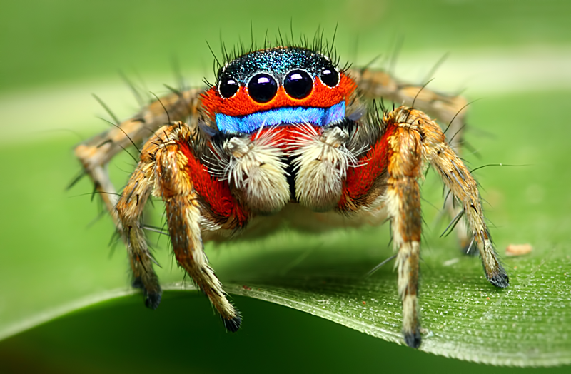 arañas ojos
