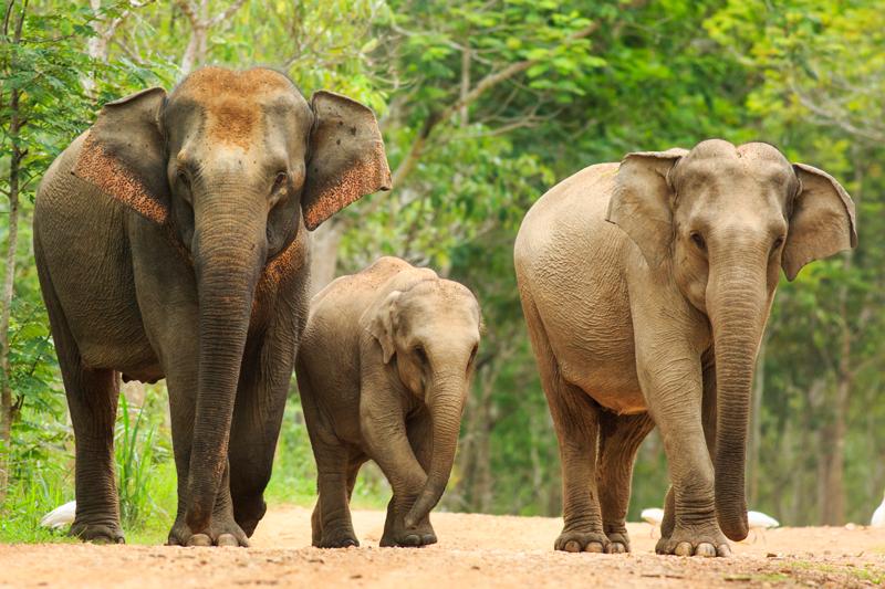 elefantes asiático
