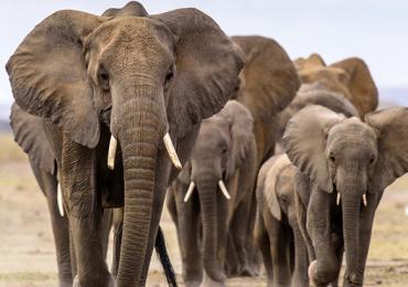 especies elefantes
