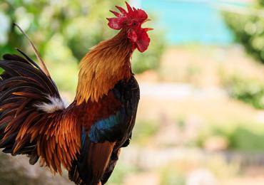 gallo cantar Francia
