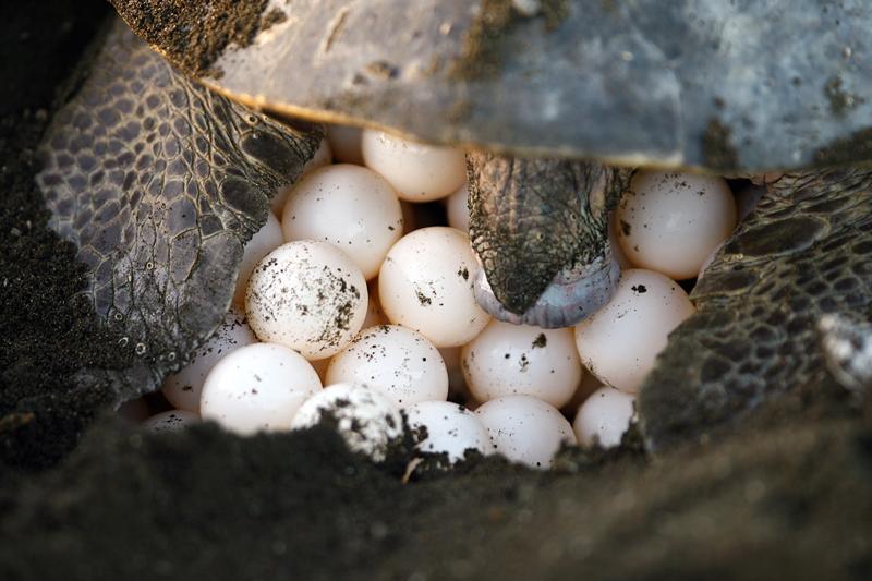 huevos tortugas lora