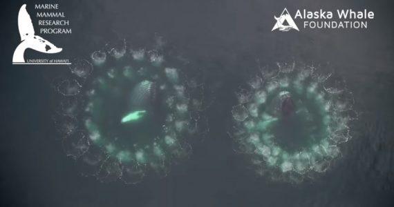 ballenas jorobadas redes de burbuja