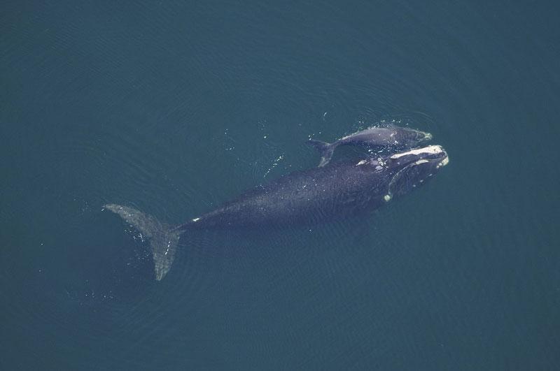 ballena cría