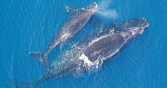 ballena franca y su cía