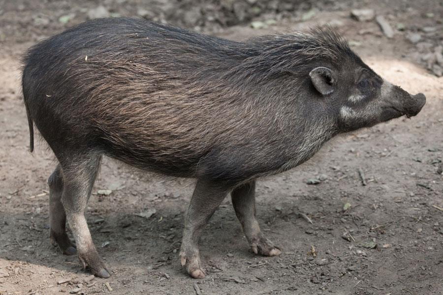 cerdos verrugosos