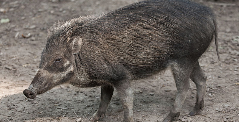 Por primera vez observan a cerdos usando herramientas | National Geographic  en Español