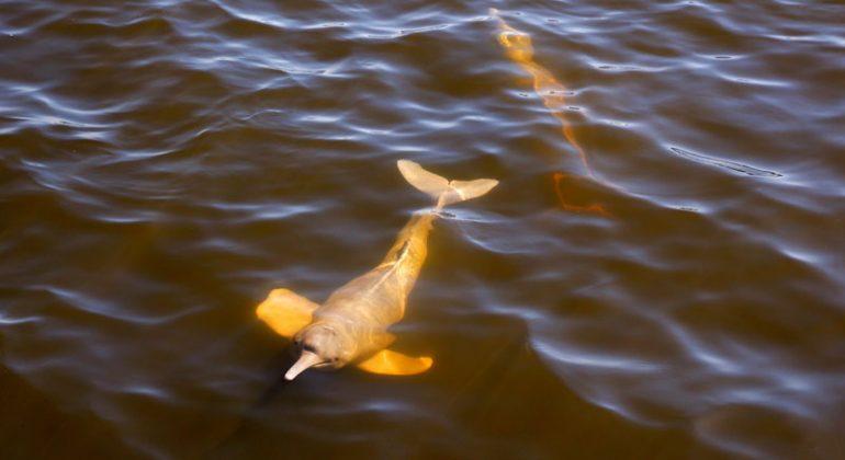 delfines de río