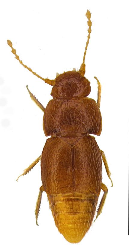 escarabajo especie insecto