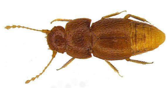 Insecto Greta