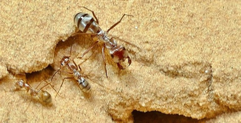 hormigas más rápidas del mundo