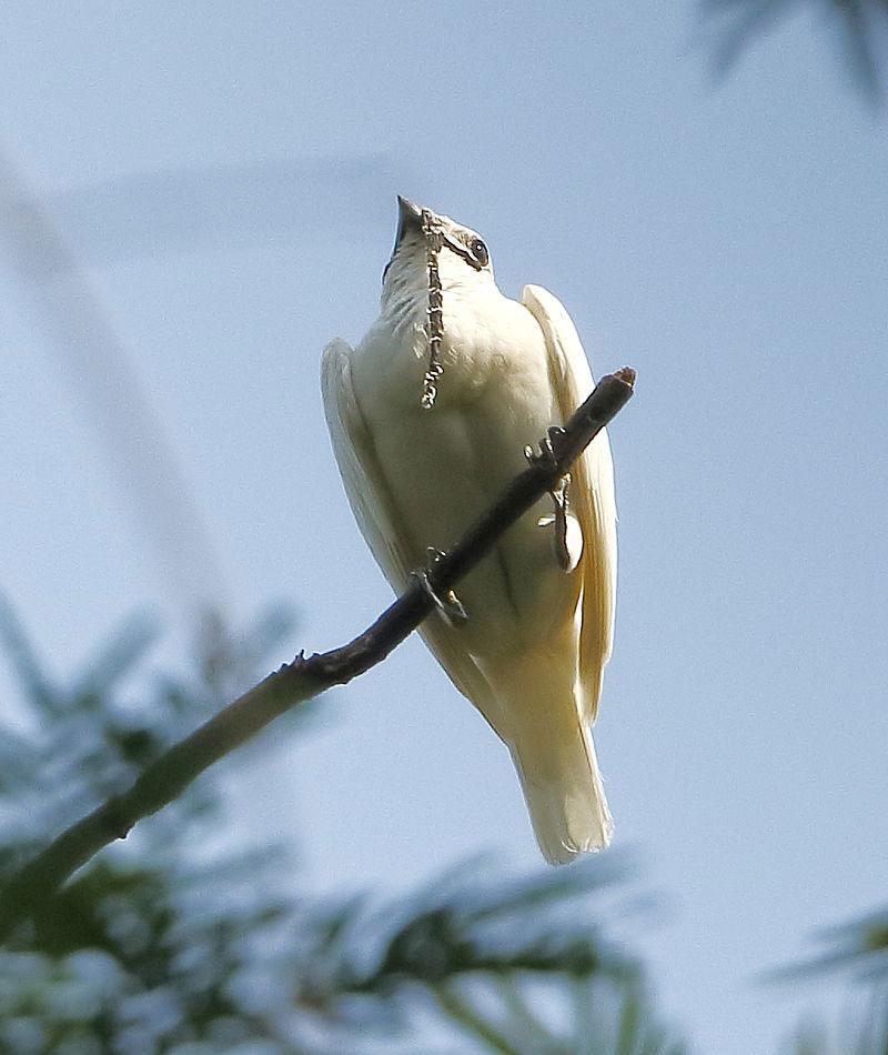 pájaro más ruidoso de la Tierra