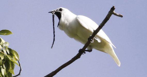 pájaro más ruidoso campanero blanco