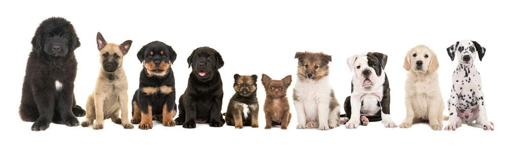 perro perros
