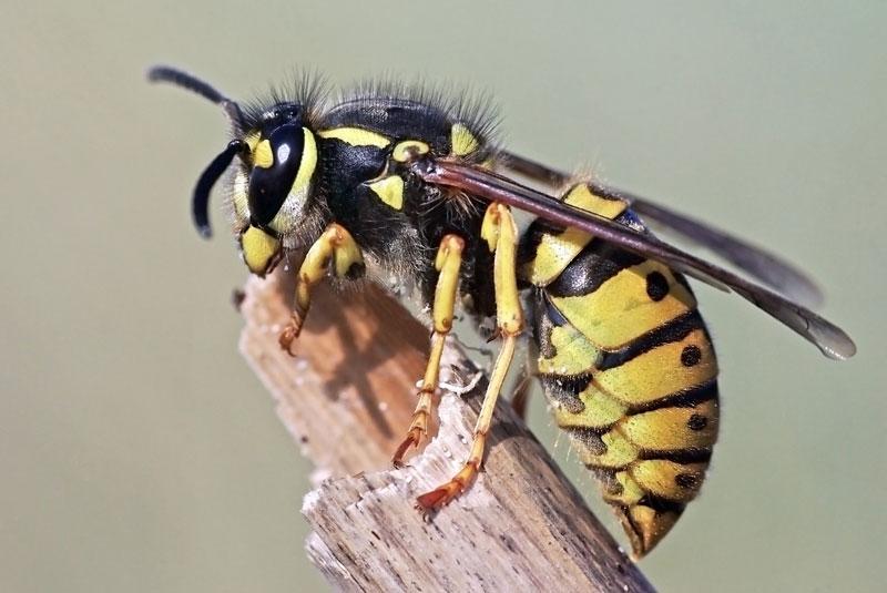 avispa de chaqueta amarilla