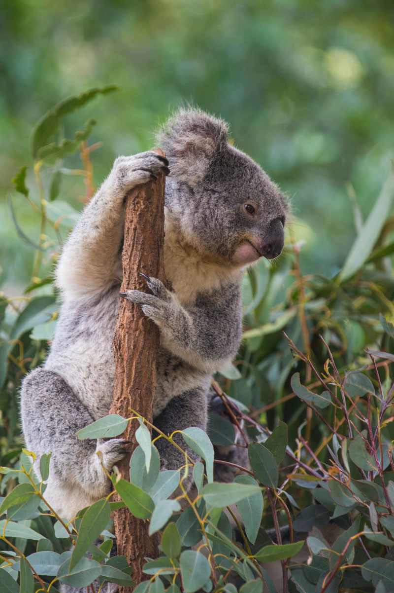 koalas koala incendio