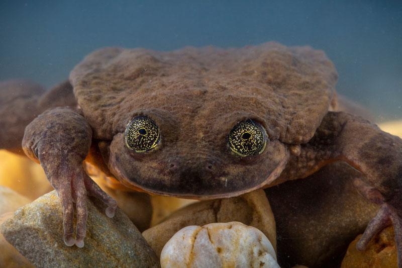 rana acuática de Sehuencas