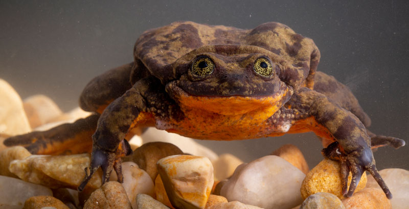 Romeo, la rana acuática de Sehuencas, encuentra pareja y puede salvar a su especie - National Geographic en espanol